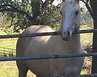 palomino-foundation-bred-horse
