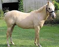 palomino-penning-horse