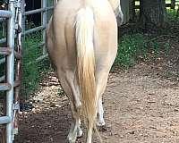 palomino-reining-horse