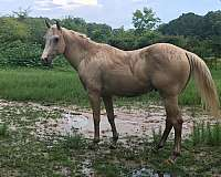 two-year-old-quarter-horse