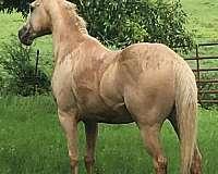 lethal-white-quarter-horse