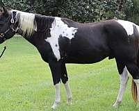 black-barrel-racing-horse