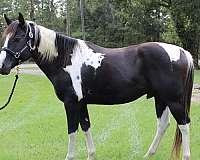 black-calf-roping-horse