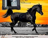 tiny-star-hind-fetlocks-white-horse