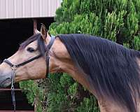 color-producer-andalusian-horse