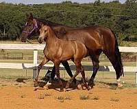 halter-andalusian-horse