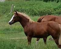 athletic-quarter-horse