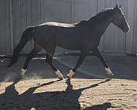 homozygous-hanoverian-horse