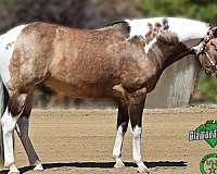 roping-stallion
