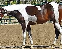 buckskin-apha-horse
