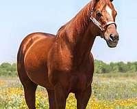 barrel-quarter-horse