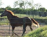 sorrel-quarter-horse-stallion