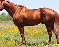barrel-futurity-horse