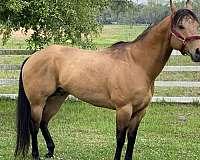 buckskin-abra-stallion