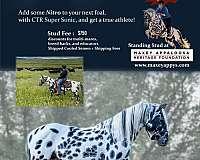 homozygous-homozygous-black-appaloosa-horse