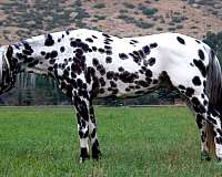 black-appaloosa-for-sale
