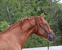 uspre-andalusian-horse