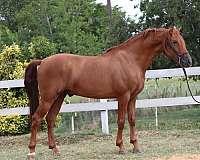 cardenas-andalusian-horse