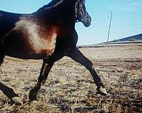 black-andalusian-for-sale