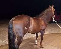 four-year-old-stallion