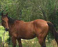bay-white-on-back-left-hoof-no-other-markings-horse