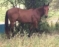 bay-aqha-horse