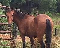 bay-quarter-horse-for-sale