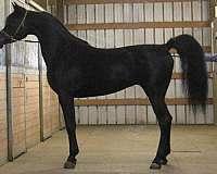 halter-homozygous-black-stallion
