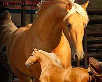 andalusian-stallion-at-stud-horse