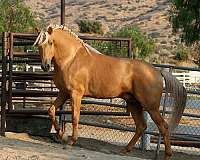 palomino-stallion-at-stud-andalusian-horse