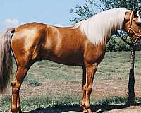 stallion-at-stud-andalusian-horse
