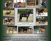 sporthorse-stallion