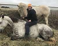 breeding-irish-draught-horse