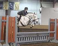 three-year-old-irish-draught-horse