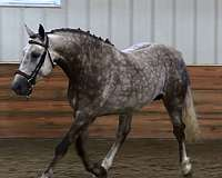 two-year-old-irish-draught-horse