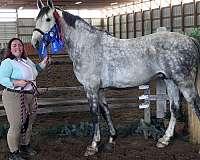 tri-colored-irish-draught-horse