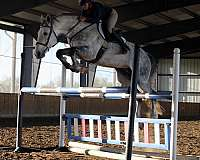 sport-irish-draught-horse
