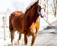 belgian-horse