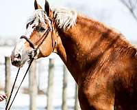 other-belgian-horse