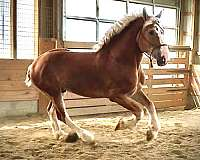 breeding-belgian-horse