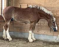 sport-belgian-horse