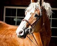 sporthorse-belgian-horse
