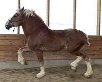 stud-service-belgian-horse