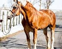 stallion-semen-belgian-horse