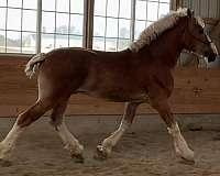 stud-fee-belgian-horse