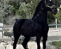 black-ancce-horse