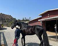 tall-andalusian-horse