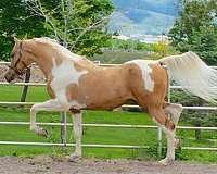 tan-saddlebred-horse