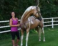 stallion-semen-saddlebred-horse