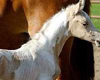 show-winner-saddlebred-horse